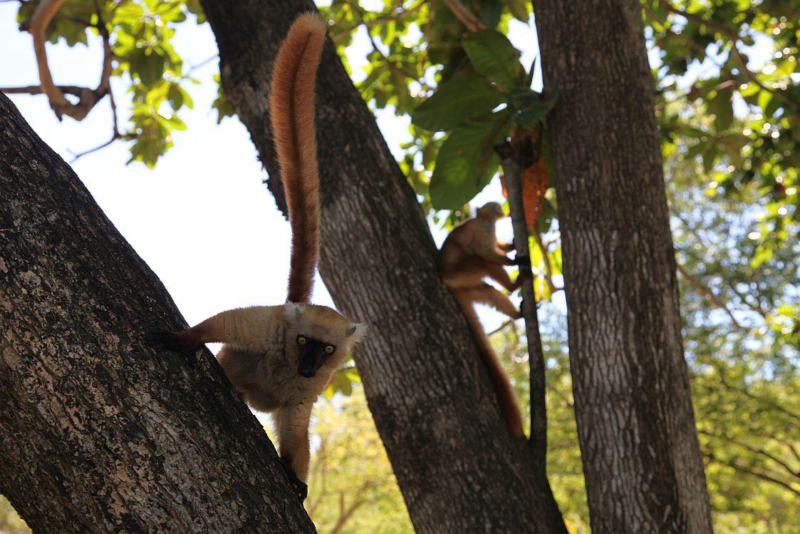 Eulemur macaco2sm
