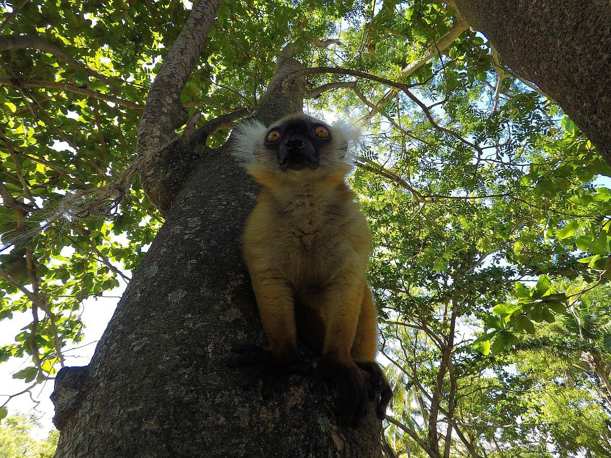 Eulemur macaco female